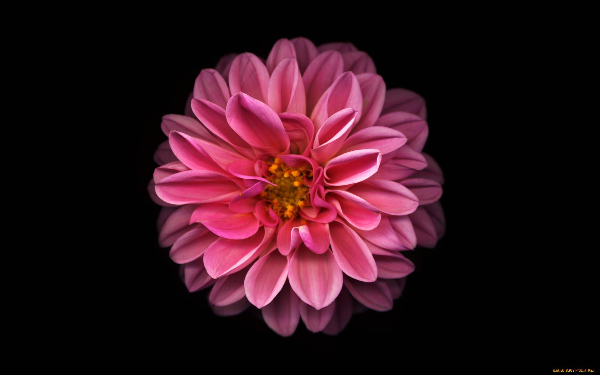 картинки цветка как на айфоне есть возможность